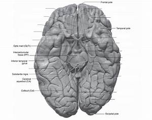 Inferior Brain Neuroanatomy