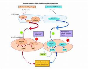 Mechanism Of Action Of Inhaled Prostacyclin  Ino  And