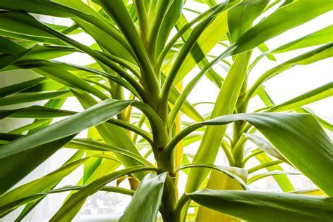 Yucca Palme Bekommt Gelbe Blätter yucca palme bekommt gelbe bl 228 tter 187 ursachen ma 223 nahmen