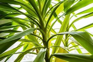 Palme Gelbe Blätter : yucca palme bekommt gelbe bl tter ursachen ma nahmen ~ Lizthompson.info Haus und Dekorationen
