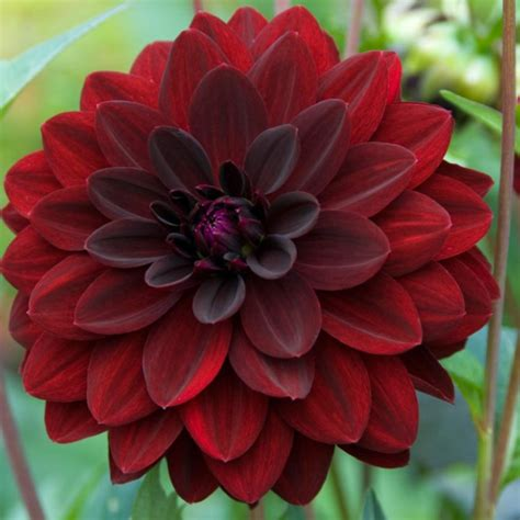 black dahlia flower laidback gardener