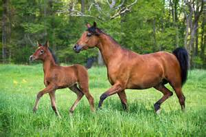 Arabian Mare and Foal