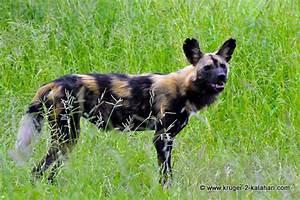 Black Jackal Dog