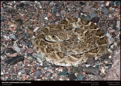 western diamondback rattlesnake   common snake