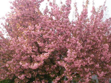 baum mit rosa blüten vanilleherz und mandarinenduft rosa bl 252 hender baum
