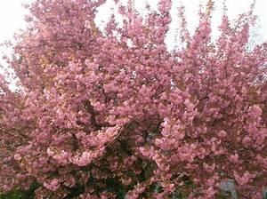 Rosa Blühender Baum Im Frühling : vanilleherz und mandarinenduft rosa bl hender baum ~ Lizthompson.info Haus und Dekorationen