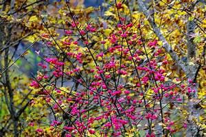 Giftpflanze Mit Stacheliger Frucht : pfaffenh tchen euonymus europaeus g nstig online kaufen ~ Eleganceandgraceweddings.com Haus und Dekorationen