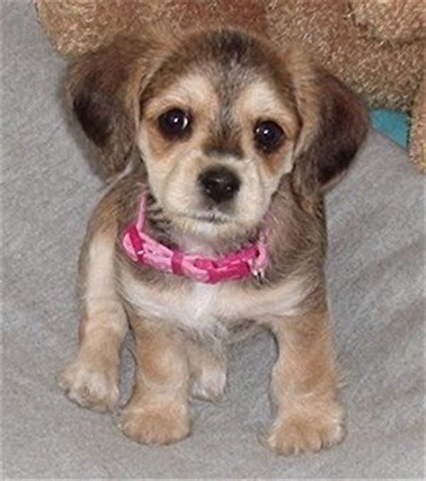 unreal yorkshire terrier cross breeds