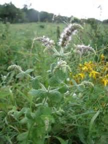 Pied De Menthe : menthe mon herbier ~ Melissatoandfro.com Idées de Décoration