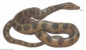 Anaconda   reptile   Britannica