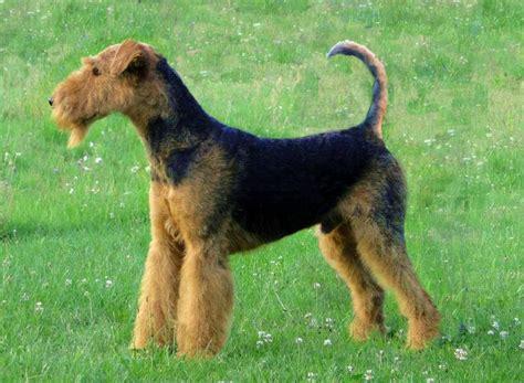 best dog breeds hypoallergenic long hairstyles