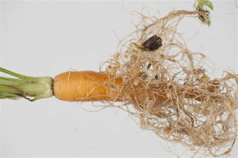 Nematodes   Agriculture and Food