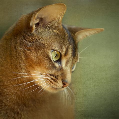 cat wall metal portrait of an abyssinian cat with textures photograph by