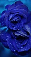 Ultra HD Blue Rose Wallpaper Collection For All Your ...