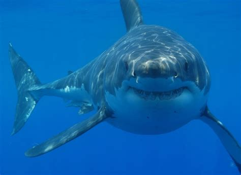 great white shark dive great white shark cage diving in cape town at gansbaai