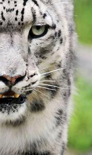 Animal White Tiger   wallpaper.sc iPhoneXS