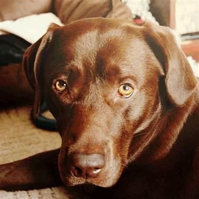 Labrador Dog Breeds Gifs Fallout Chocolate Pretty