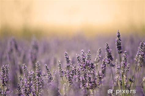 fototapete sommer wiese mit blumen lavender pixers