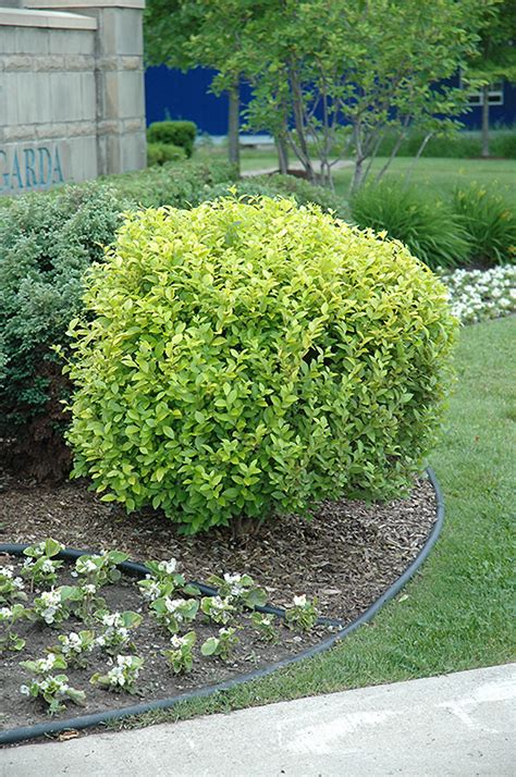 tagawa gardens hours golden privet ligustrum x vicaryi in denver centennial