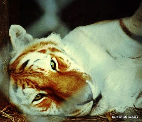 One The Many Beautiful Big Cats Exotic Feline