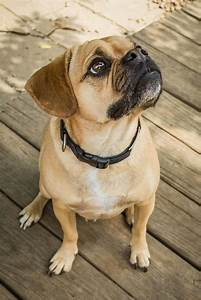 37 best images about Puggles ️ ️ on Pinterest | Kinds of ...