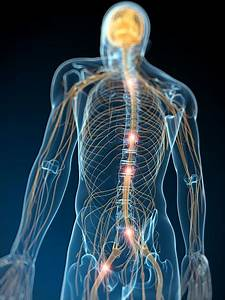 Human Nervous System  Artwork Photograph By Sciepro