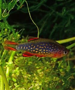 Lebendfutter Für Fische : fische wirbellose garnelen onlineshop ~ Watch28wear.com Haus und Dekorationen