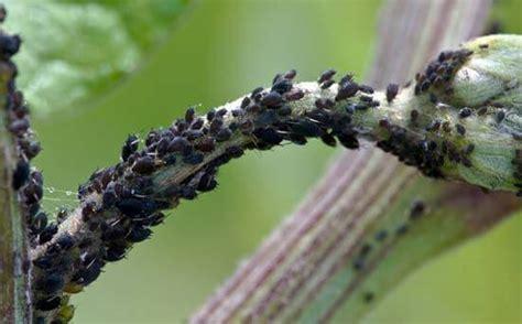 Zimmerpflanzen Und Gartenpflanzen Vom Blattlaus Befall Schuetzen by Blattl 228 Use Was Hilft Gegen Die Sch 228 Dlinge An Pflanzen