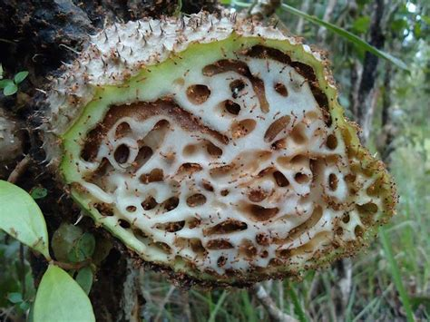 Sarang Semut Daeng amazing
