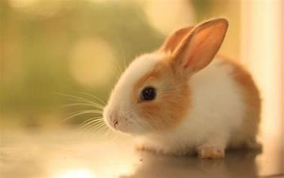 Bunnies Rabbits Background