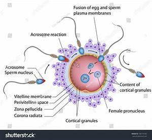 Fertilization Labeled Stock Illustration 166170182