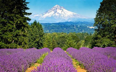 wall mount wine lavender field wallpaper 1377607