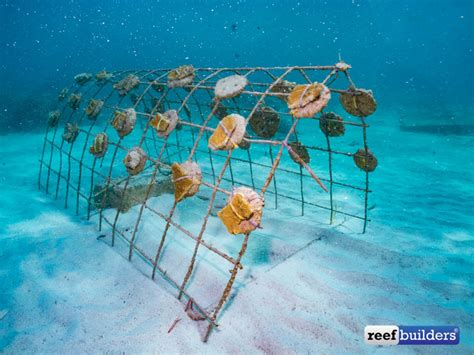 reefbuilders travelogue corals   dominican republic