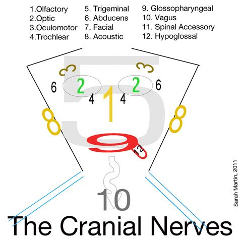 Drawing Of The Face And Cranial Nerves 1000+ Images About