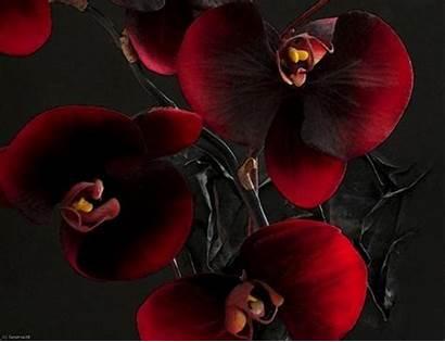Orchid Burgundy Desktop Orchidee Hintergrundbilder Orchidees Orchideen