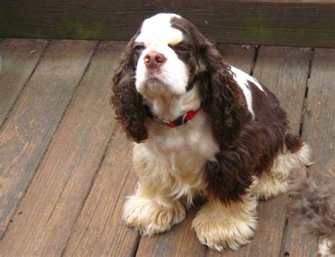 From 9:00 am until 9:00 pm. Pictures of cocker spaniels at Cocker Pup Kennel in Georgia.- www.cockerpupkennel.com