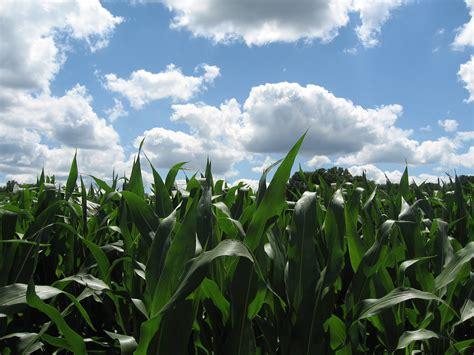 Corn Field Beautiful Sky Soulsby Farm Two Barn Farm