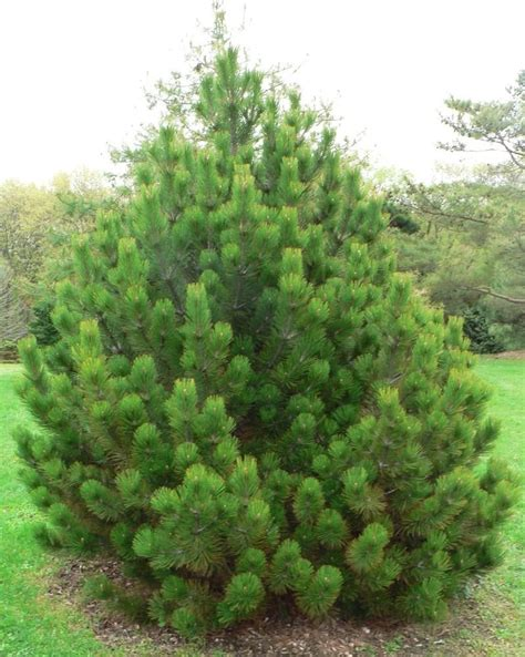Christmas Tree Types Oregon by Plantfiles Pictures Bosnian Pine Compact Gem Pinus