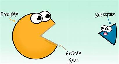 Enzyme Substrate Gifs Enzymes Amoeba Sisters Active