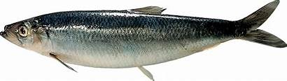 Herring North Atlantic Sea Fishing Clupea Harengus