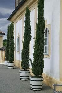 Zypresse Wird Braun : zypressen pflanzen anleitung wacholder pflanzen und ~ Lizthompson.info Haus und Dekorationen