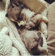 Sweet Sleeping Puppy Pictures  Photos  and Images for Facebook  Tumblr      Adorable Husky Puppy Sleeping