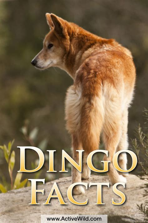 dingo facts info pictures life habitat diet threats