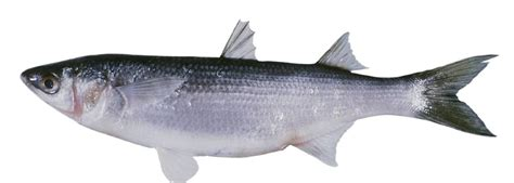precautionary dietary advice   fin fish species