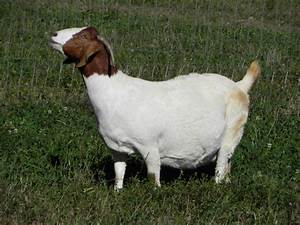 South African Boer Goat Does - Boer Goats