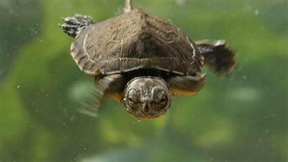 Turtles Turtle Lake Pond Wallpapers Western Crazy