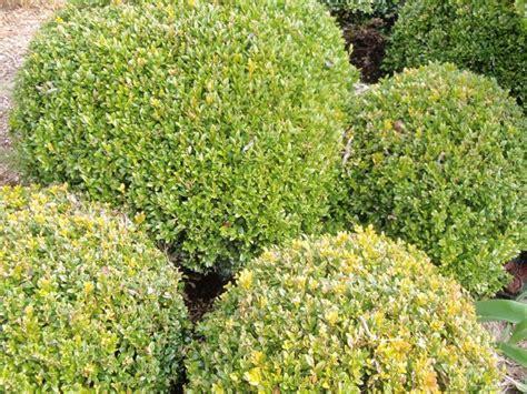 bosso in vaso bosso in vaso alberi latifolie coltivare il bosso in vaso