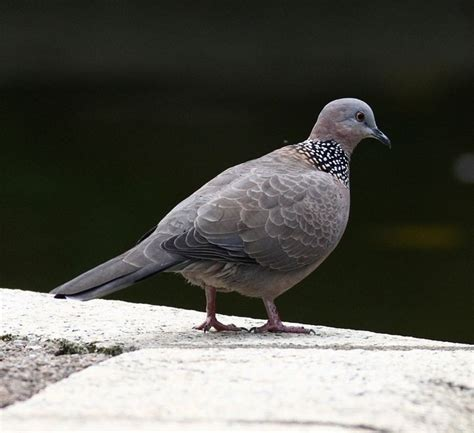 top gifts for spotted dove 珠頸斑鳩 doves 鳩 landbirds 陸鳥 hkbws forum
