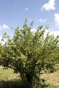 Planter Un Cerisier : prunier planter et tailler ooreka ~ Melissatoandfro.com Idées de Décoration