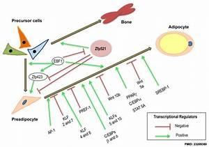 Adipose Tissue Development